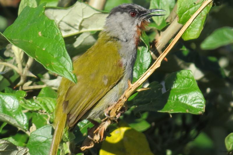 Grey-capped Warbler, (Emina lepida)
