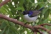 Eastern Violet-backed Sunbird (Anthreptes orientalis)