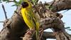 Vitelline Masked Weaver (Ploceus vitellinus)