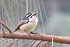 Yellow-rumped Tinkerbird (Pogoniulus belineatus)
