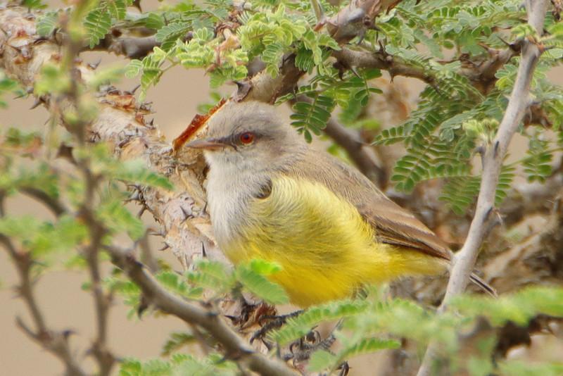 Yellow-bellied Eremomela (Eremomela icteropygialis)