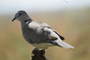 Ring-necked Dove (Streptopelia capicola)
