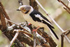 White-crested Helmet Shrike (Prionops plumatus)