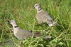 Collared Mourning Dove ( Streptopelia decipiens)