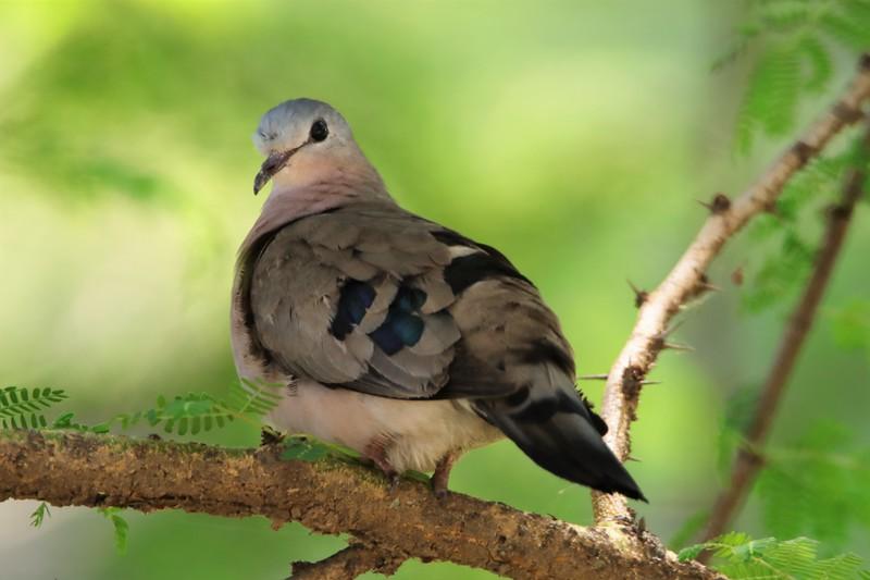 Blue-spotted Wood Dove (Turtur afer)