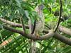 African Goshawk (Accipiter tachiro)
