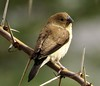 African Silverbill (Euodice cantans)