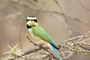 White-throated Bee-eater, (Merops albicollis)