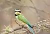 White-throated Bee-eater, (Merops albicollis)