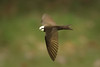 White-headed Saw-wing (Psalidoprocne albiceps)