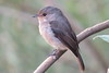 African Dusky Flycatcher (Muscicapa adusta)