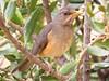 African Thrush (Turdos pelios)