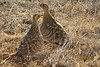 Black-faced Sandgrouse (Pterocles decoratus)