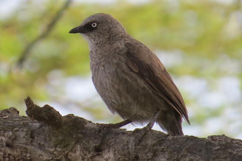 Black-lored Babbler (Turdoides melanops)