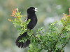 White-winged Widowbird (Euplectes albonotatus)