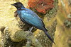 Ruppell's Starling (Lamprotornis purporoptera)