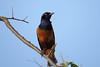 Hilderbrandt's Starling (Lamportornis hildebrandti)