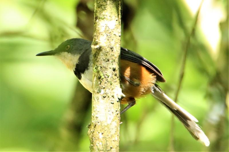 Black-collared Apalis (Oreolais pulcher)