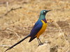 Golden-breasted Starling (Lamprotornis regius)