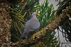 African Olive Pigeon (Columba arquatrix)