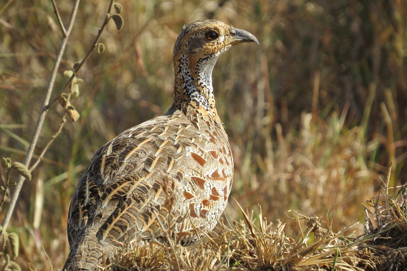 Shellley's Francolin (Francolinus shelleyi)