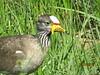 Wattled Lapwing (Vanellus senegallus)