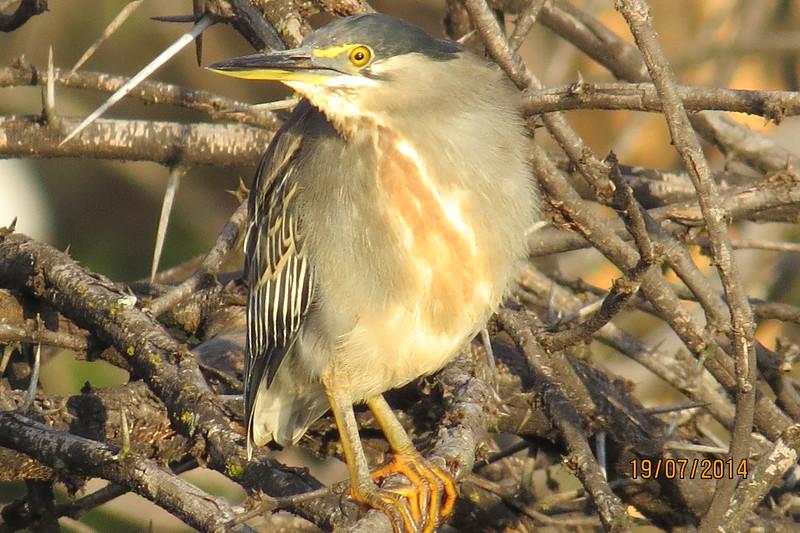 Green-backed Heron (Butorides striatus)