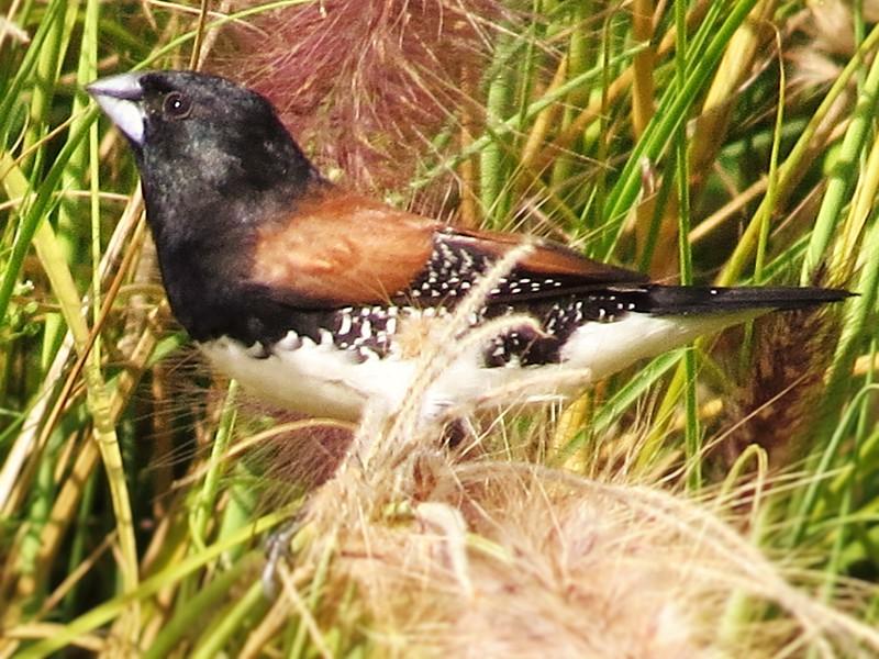 Black-and-white Mannikin (Spermestes bicolor)