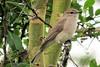 Pale Flycatcher (Bradornis pallidus)
