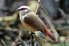 Crimson-rumped Waxbill (Estrilda rhodopyga)