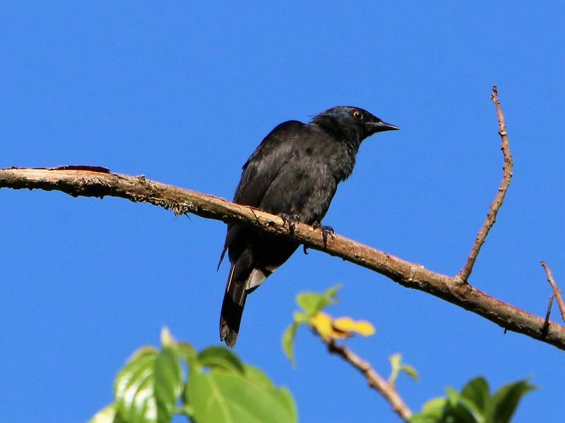 Stuhlmann's Starling (Poeoptera stuhlmanni)