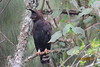 Long-crested Eagle (Lophaetus occipatalis)