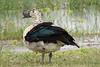 Comb Duck (Sarkidiornis melanotos)