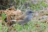 Swahili Sparrow (Passer suahelicus)