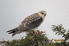Common Black-shouldered Kite (Elanus Caeruleus)