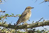 Common Rock-thrush (Monticola saxatilis)