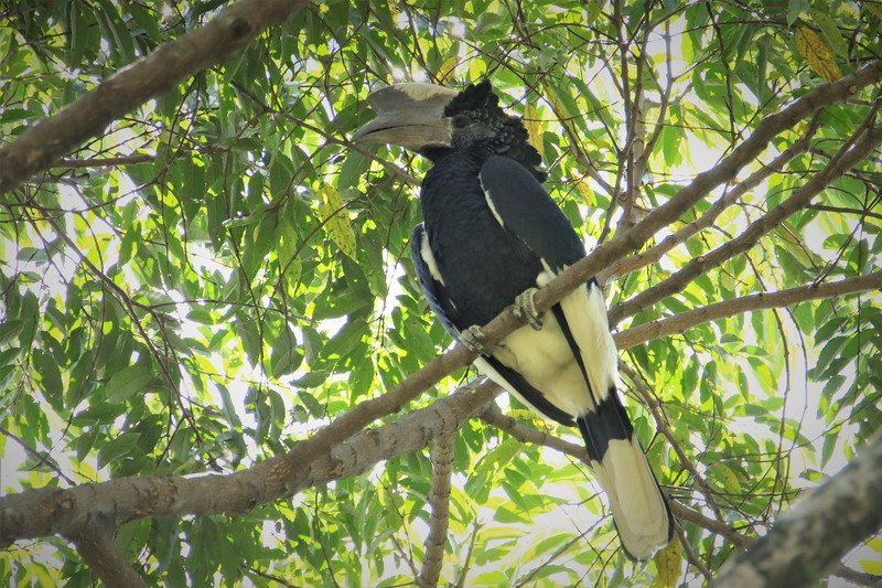 Black-and-white Casqued Hornbill (Bycanistes subcylindricu)