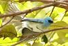 African Blue Flycatcher (Elminia longicauda)
