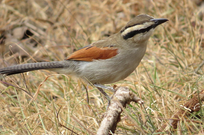 Brown-crowned Tchagra (Tchagra Australis)