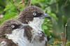 Northern Pied Babbler, (Turdoides hypoleuca)