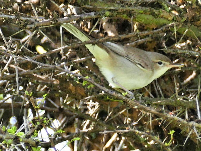 Olivaceous Warbler (Iduna pallida)
