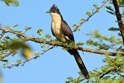 Jacobin Cuckoo (Clamator jacobinus)