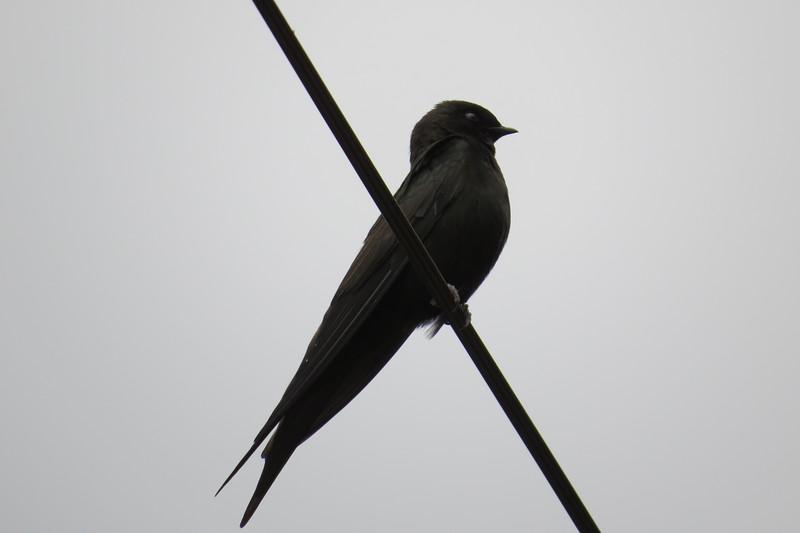 Black Saw-wing ((Psalidoprocne pristoptera))