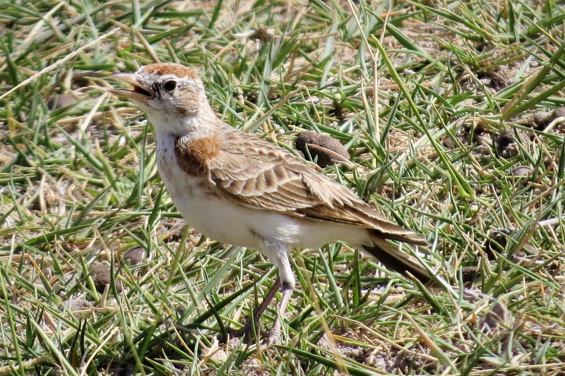 Red-capped Lark (Calandrella cinerea)