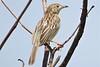 Ashy Cisticola (Cisticola cinereolus)