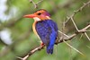 African Pygmy-kingfisher (Ispidina picta)