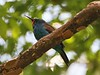 Blue-headed Bee-eater (Merops muelleri)