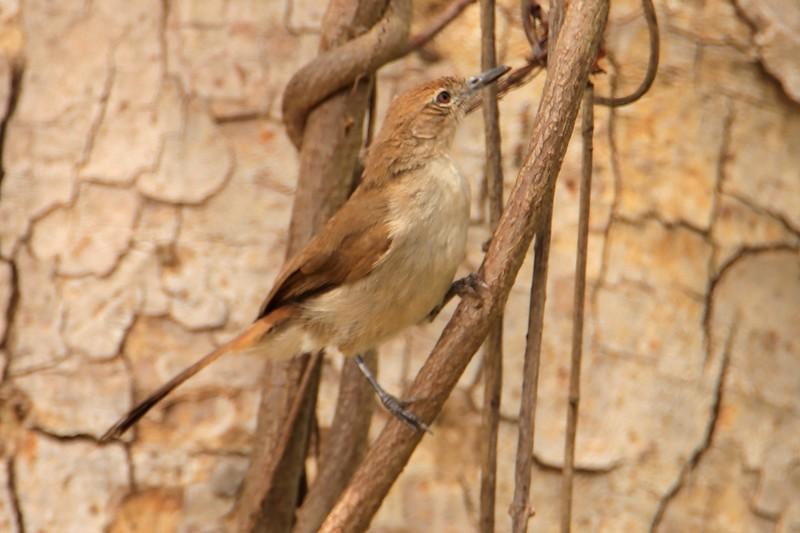 Northern Brownbul (Phyllastrephus strepitans)