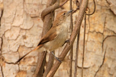 Northern Brownbul (Phyllastrephus strepitans)