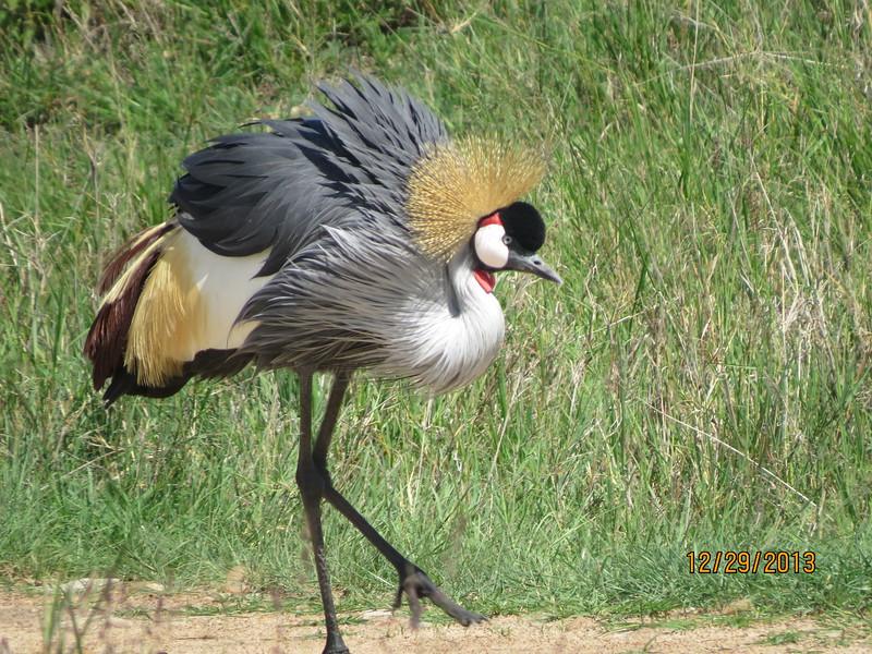 Grey Crowned-crane (Balearica regulorum)